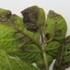 Late blight on back of potato leaf (Photo Dr. Lina Quesada, NCSU Vegetable Pathology Lab)