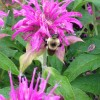 Monarda is a great addition to a pollinator garden.