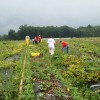 The winter squash trial at the Piedmont Research Station. Extension Master Gardeners are pictured helping harvest the squash.
