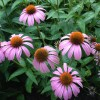 Purple coneflowers are great for beneficial insect gardens, and they are also treated as a medicinal herb.