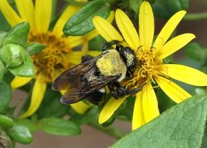 Carpenter bee on starry rosinweed. Photo by Debbie Roos.