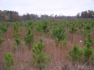 Young pine trees planted after a clear cut
