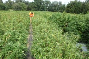 researcher in hemp field