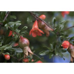 pomegranate blossom