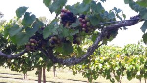 Cover photo for Grape Pest Survey- 4th Week of July