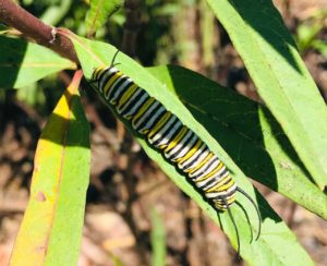 Monarch caterpillar on butterflyweed