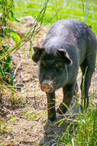 black pig in a pasture