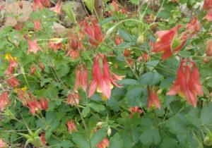 wild columbine flower