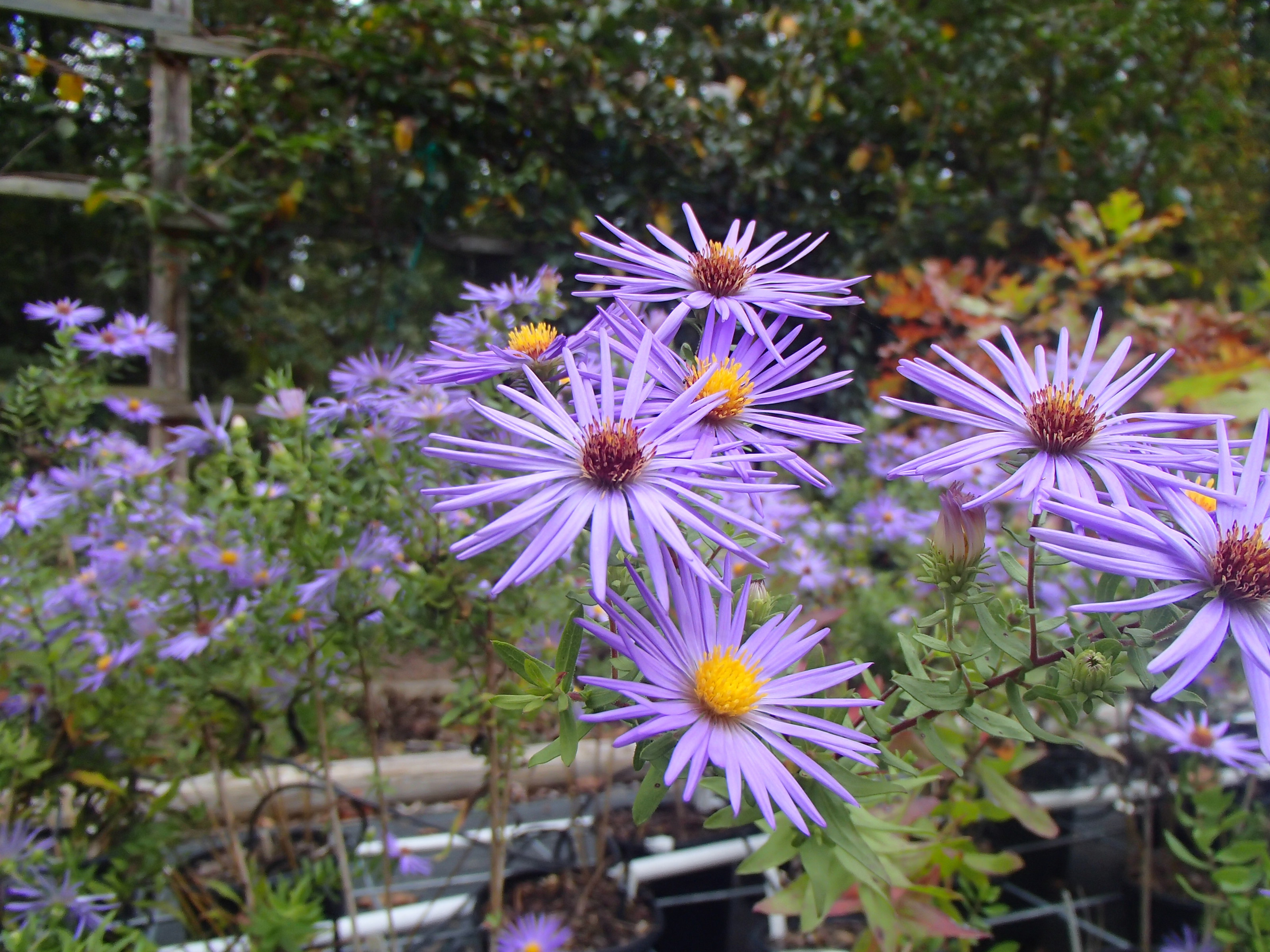 Image of Aromatic Aster