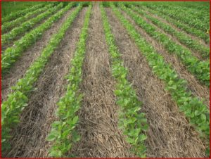 Cover photo for Value of Cultural Practices for Managing Herbicide-Resistant Weeds