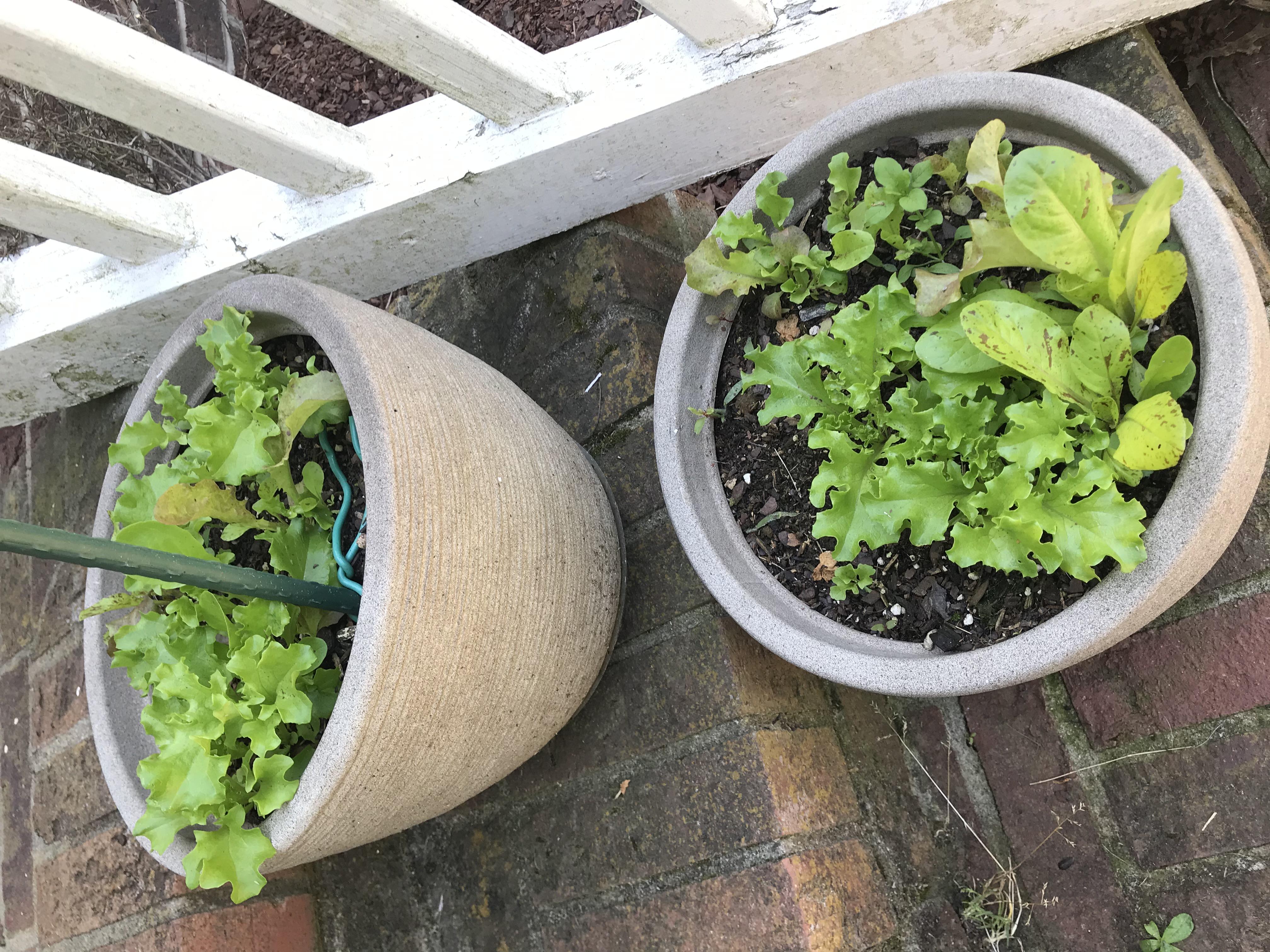 lett-uce growing in pots