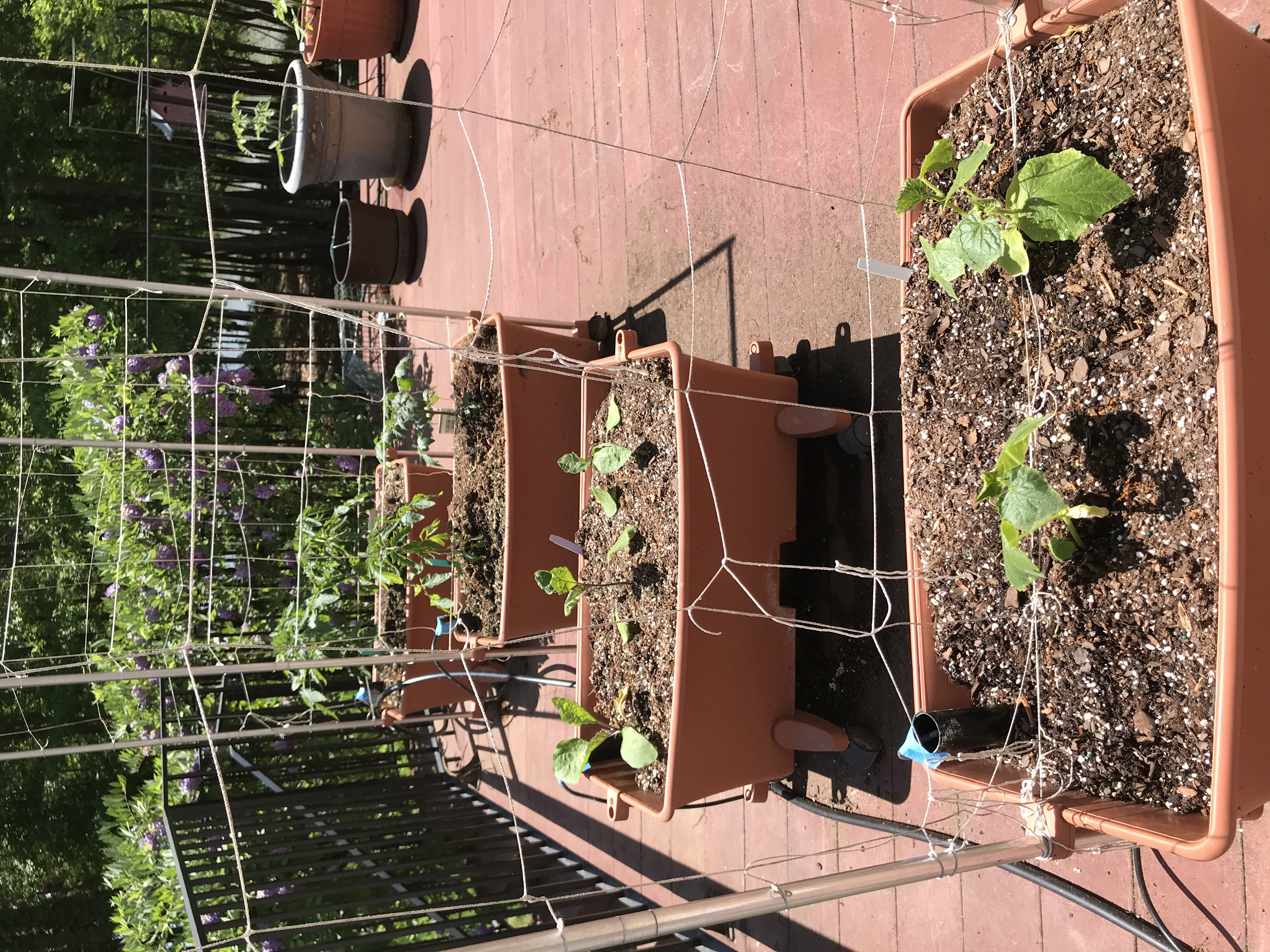 tomatoes and cucumbers growing in containers